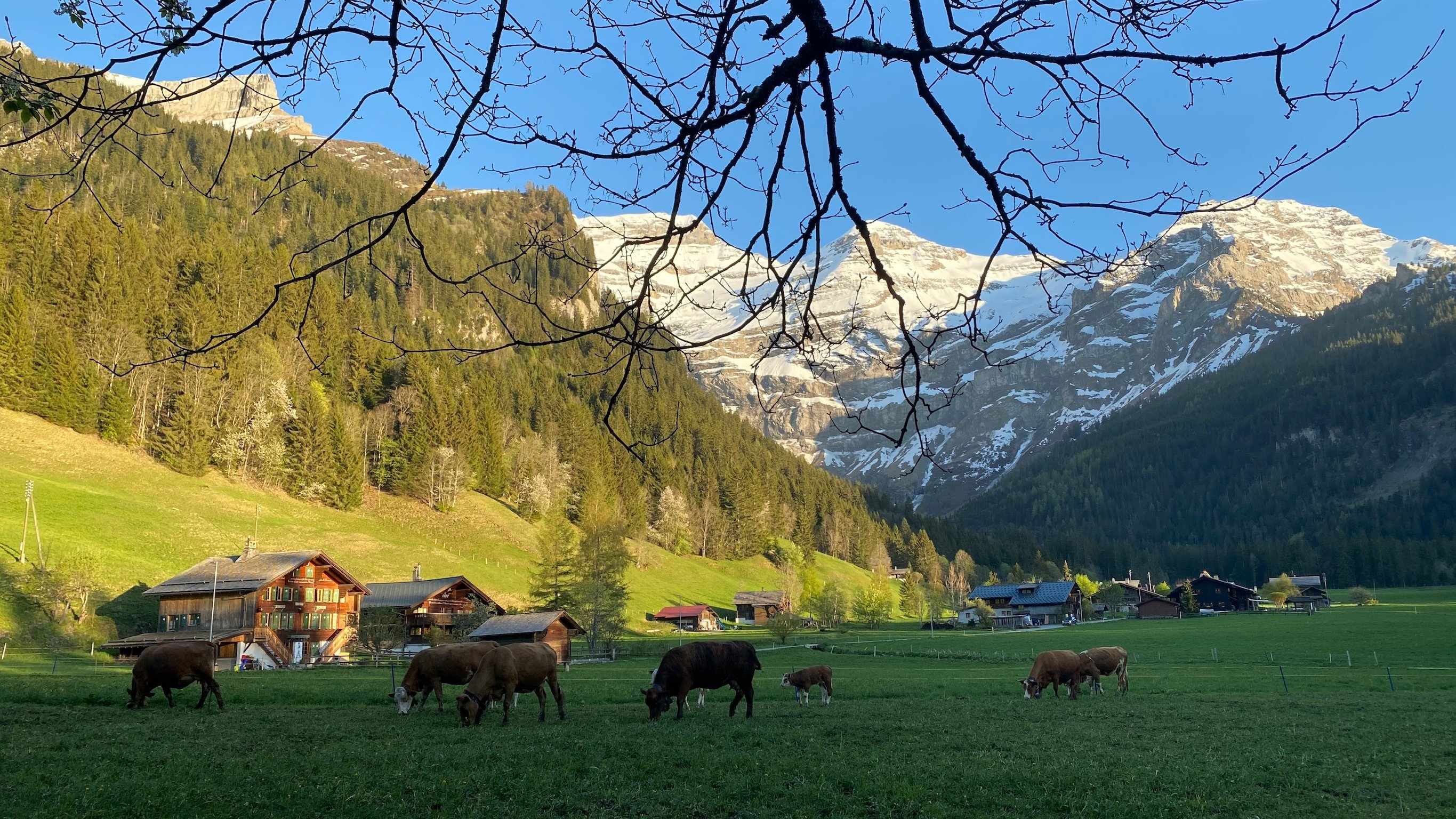 les diablerets suisse switzerland vaches cow
